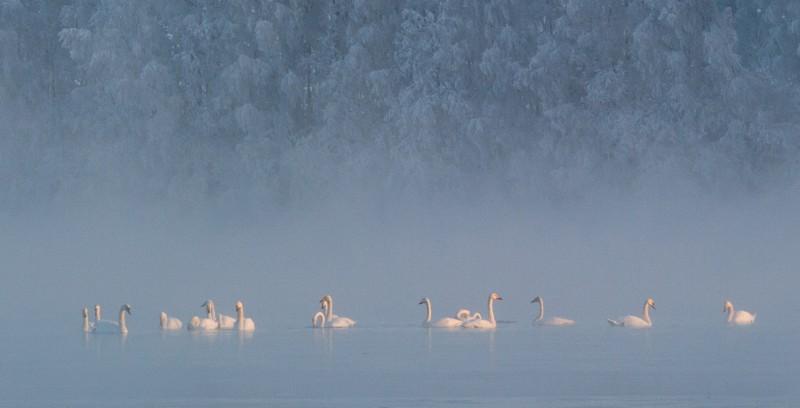 Sangsvane, (Cygnus cygnus), Whooper Swan, Singschwan, Cygnechanteur, Sangsvane, Sångsvan, Laulujoutsen,